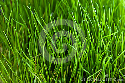 Green grass close up pattern