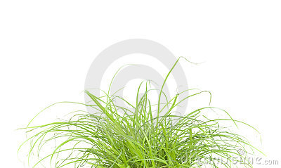 Green grass close up, on white background