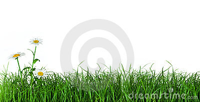 Green grass with daisy flowers