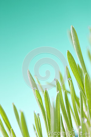 Green Grass Detail Wheat