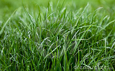 Green grass dew