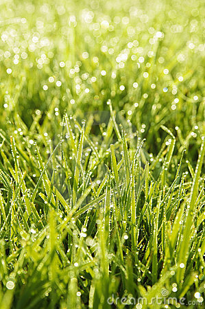 Green grass in a dew
