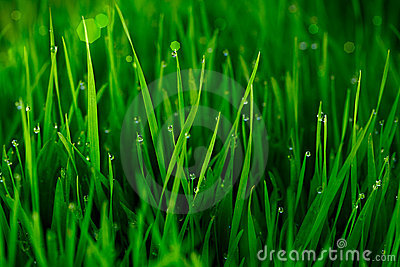 Green Grass With Early Morning Dew Drops