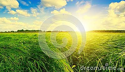 Green grass field and forest under sunset sun.