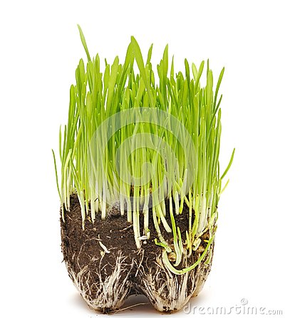 Green grass growing from the roots in the ground