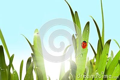Green grass and ladybug