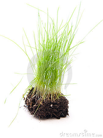Green grass with roots on white background