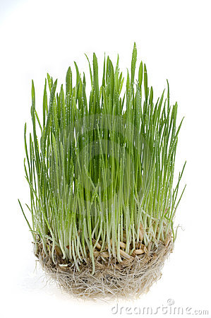 Green grass  sprout  over white background.