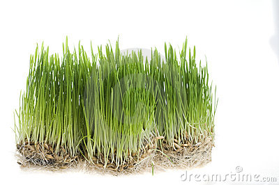 Green grass  sprout of wheat over white
