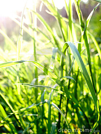 Green grass in sunlight