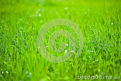 Green grass in the sunshine