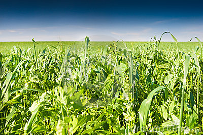 Green grass under blue bright sky