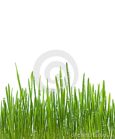 green grass with water drops isolated
