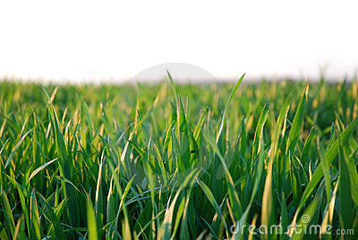 Green grass, white background