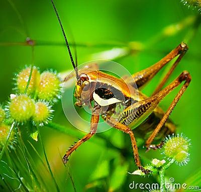 Free Green Grasshopper Royalty Free Stock Photo - 35292425