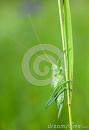 Free Green Grasshopper Royalty Free Stock Photo - 9524835
