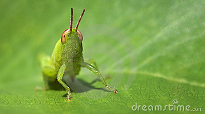 Green grasshopper on a leaf - business card format