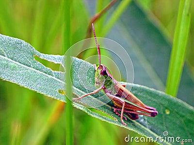 Green Grasshopper (Omocestus viridulus)