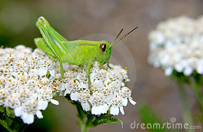 Green Grasshopper about to leap