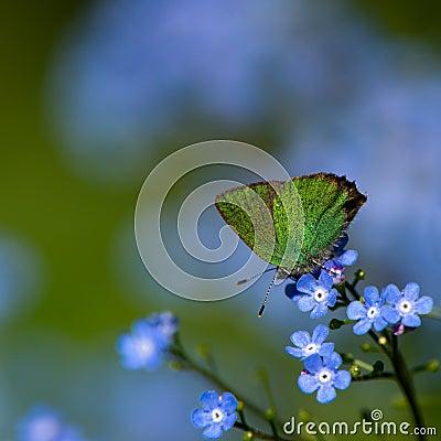 Free Green Hairstreak II (Callophrys Rubi), Sweden Royalty Free Stock Photography - 27489677