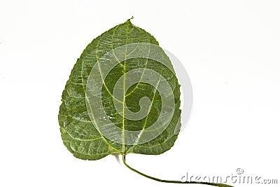 Sacha-Inchi leaf
