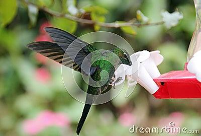 Green Hermit Hummingbird