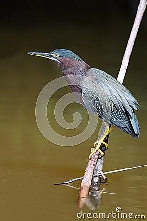 Free Green Heron Stock Image - 13897511