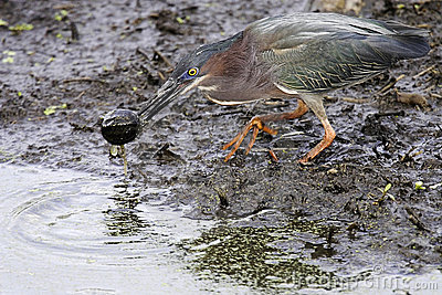 Green Heron and Baby Turtle