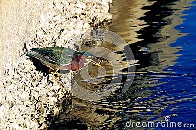 Green Heron butorides virescen flipping fish