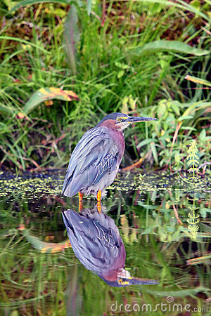 Free Green Heron In Still Water Stock Images - 10652154
