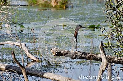 Green Heron Okefenokee Swamp