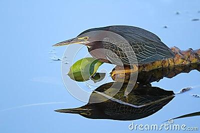 Green Heron Stalking its Prey