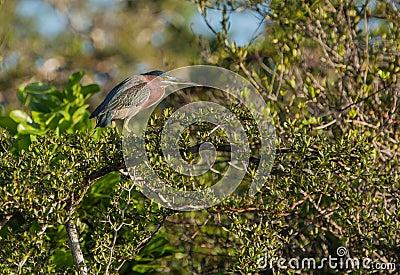Green Heron on tree