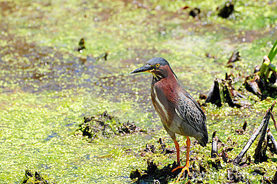 Green Heron in Wetland