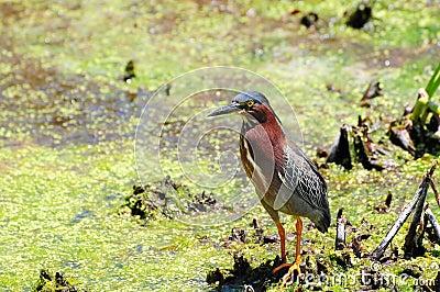 Green Heron in Wetland