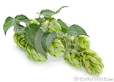 Green hop plant