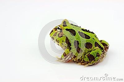 Green horned frog
