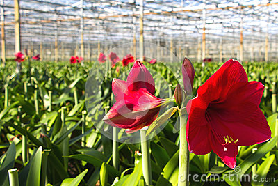 Green house for the nursery of Amaryllis