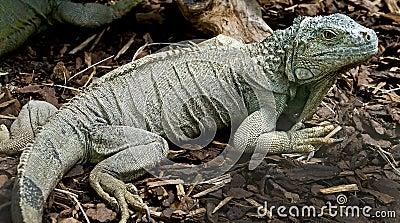 Green iguana 13