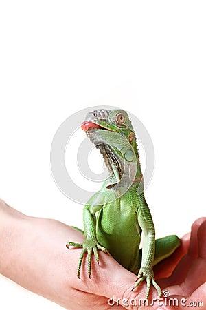 Free Green Iguana Royalty Free Stock Photo - 24170285