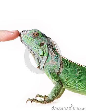 Free Green Iguana Royalty Free Stock Photo - 24618705