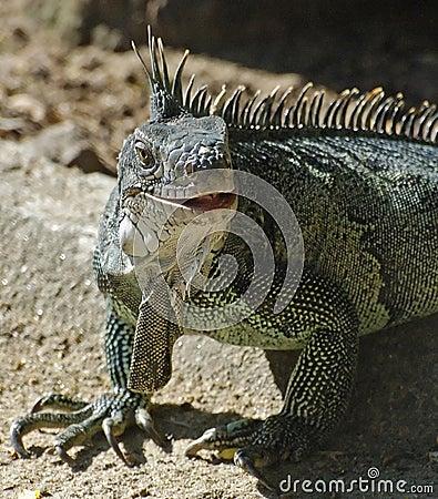 Free Green Iguana Royalty Free Stock Photos - 897108
