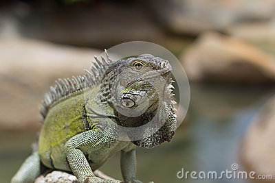 Green Iguana bathing in the sun, aruba