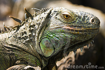 Green iguana lizard s head