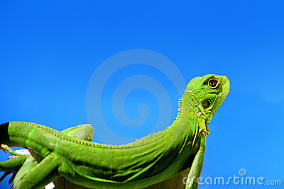 Green Iguana over blue sky
