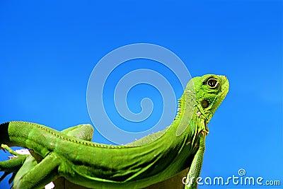 Green Iguana over blue sky