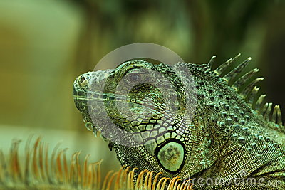Green iguana  portrait 3.
