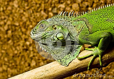 A green iguana rests on the tree