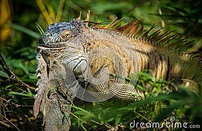 Green Iguana in the wild