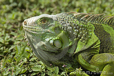 Green Iguana3